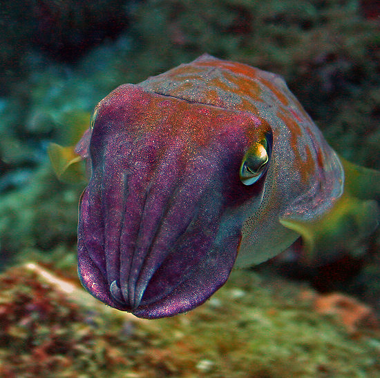 Cute Baby Cuttlefish